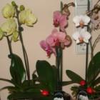 Orhideea cea mai mare planta din lume