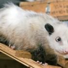 La Gala Premiilor Oscar se ofera cadou animale oposum