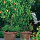 Pomi fructiferi in ghivece
