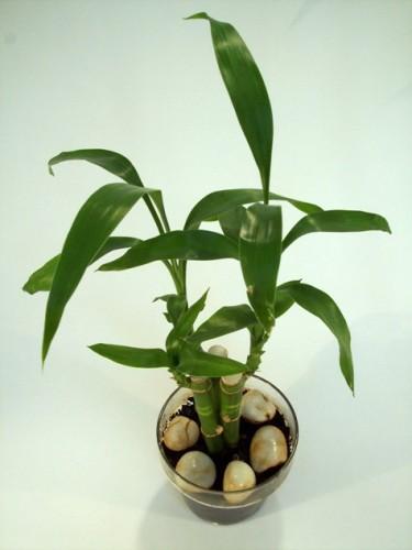 feng shui - bambus