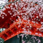 Japonia, taram de flori de cires si soare