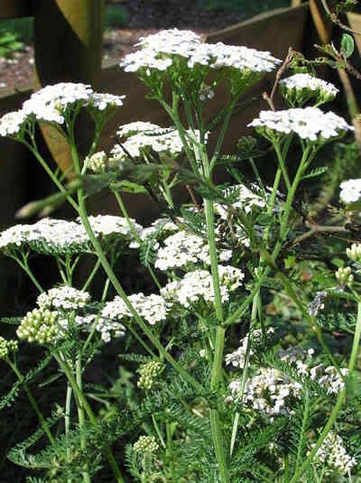 3 plante utile pentru igiena ta intima for Plante utile