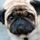 Cel mai trist Pug din lume