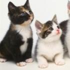 Afla cinci lucruri noi despre pisici