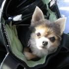 Chihuahua si geanta de calatorie