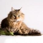 Ghemotoacele de par ale pisicii